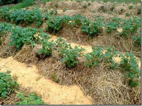 Картошку сажать под солому 77