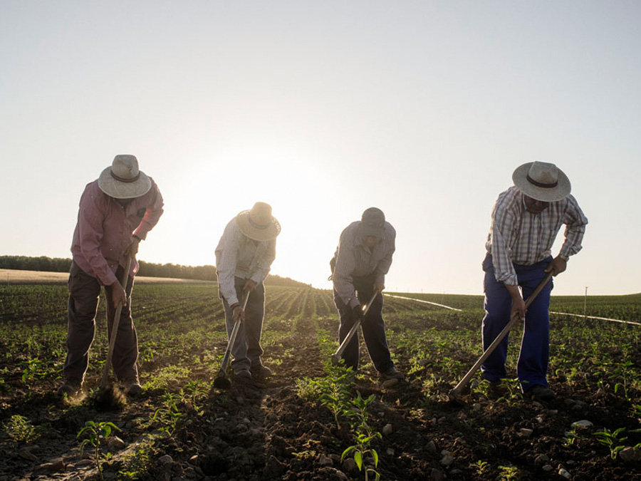 "Marinaleda . Spain . Workers of the farmers cooperative ""El Humoso"" hoe the ground of a pepper field. Manual farming technique provide job for many people instead of mechanical procedure."