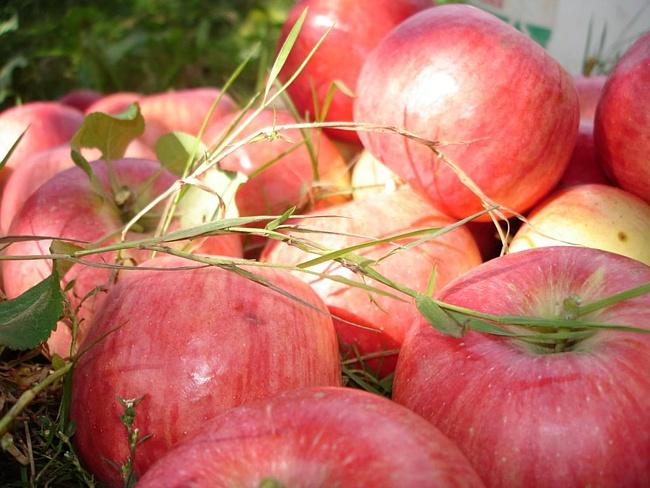 Пришел Яблочный Спас - готовь яблок запас!