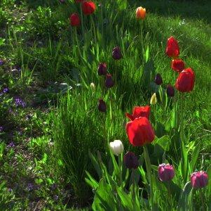 : Тюльпаны