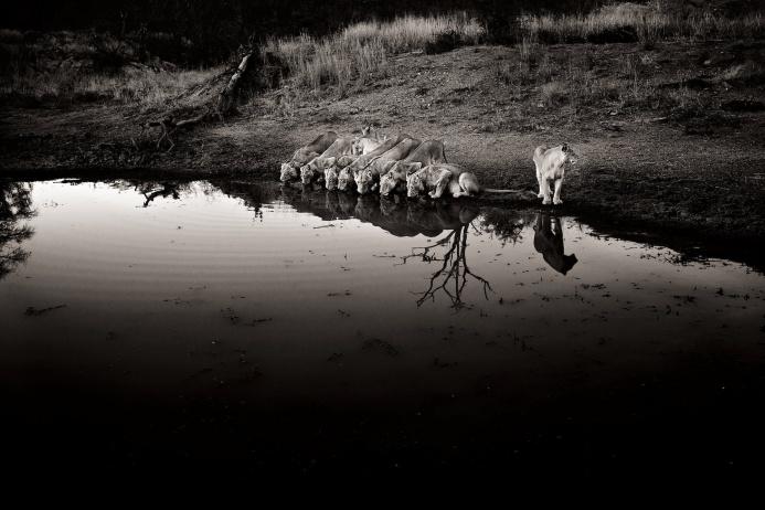 Львы на водопое в национальном парке Крюгер в ЮАР.  Фотограф Генрих ван ден Берг опубликовал уже 20 книг со своими работами