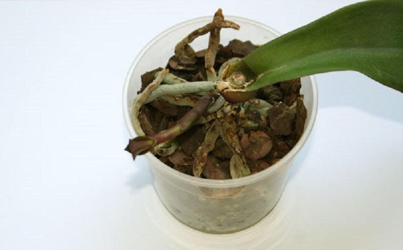 Правильная пересадка орхидеи для пышного цветения