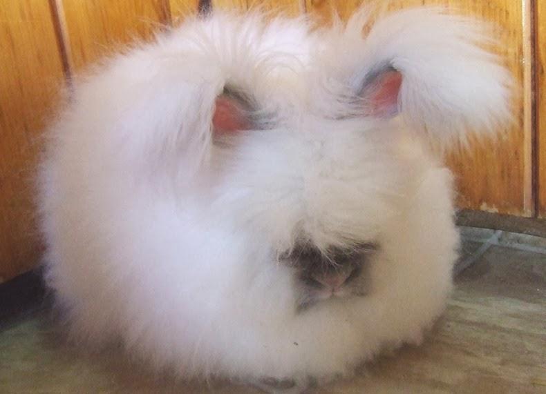 ангора-кролик-12