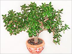 Комнатные растения приносящие деньги в дом