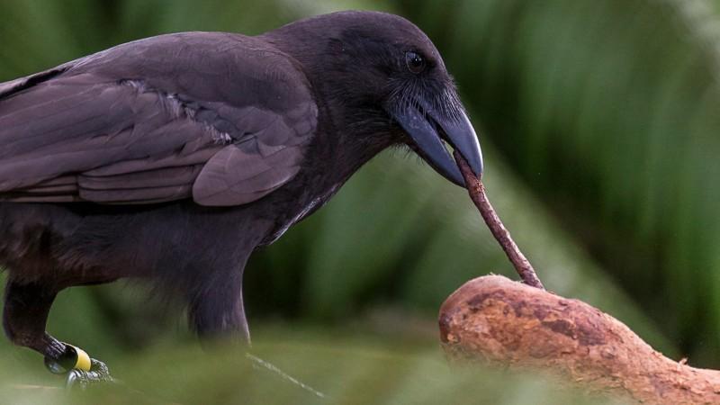 Гавайские вороны - это второй известный вид птиц, которые изготавливают орудия труда