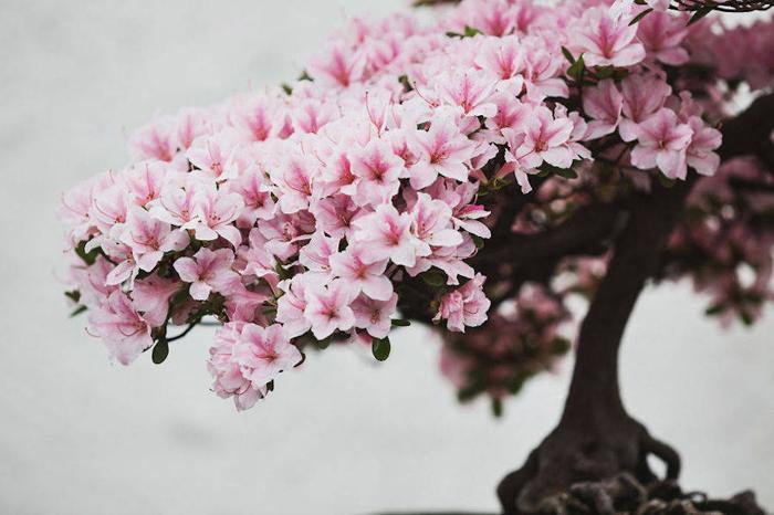 Застывшая красота деревьев-бонсай