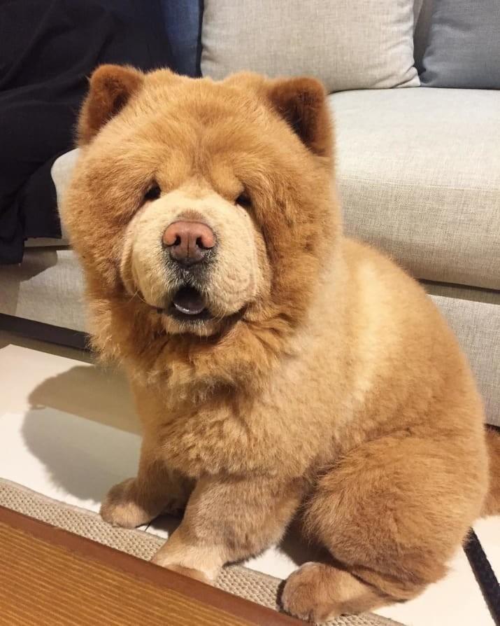 Пушистик живет на Филиппинах Instagram, животные, медведь, пес, соцсеть, сходство, филиппины, чау-чау