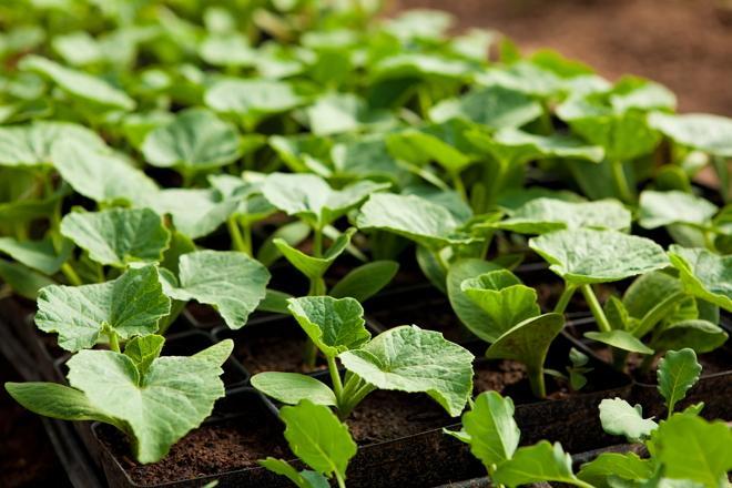 Особенности выращивания рассады кабачков и патиссонов