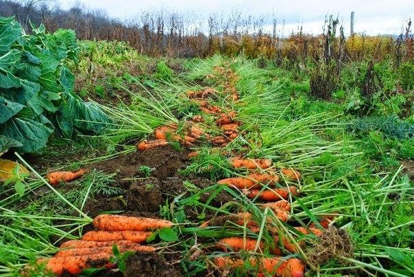 Морковные секреты в копилку огородника