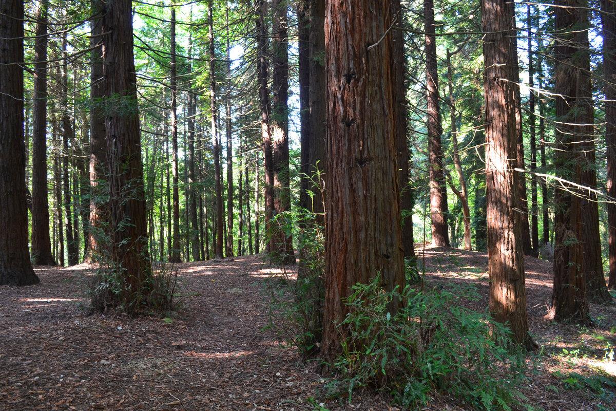 Огромные секвойи в Кудепстинском лесопарке