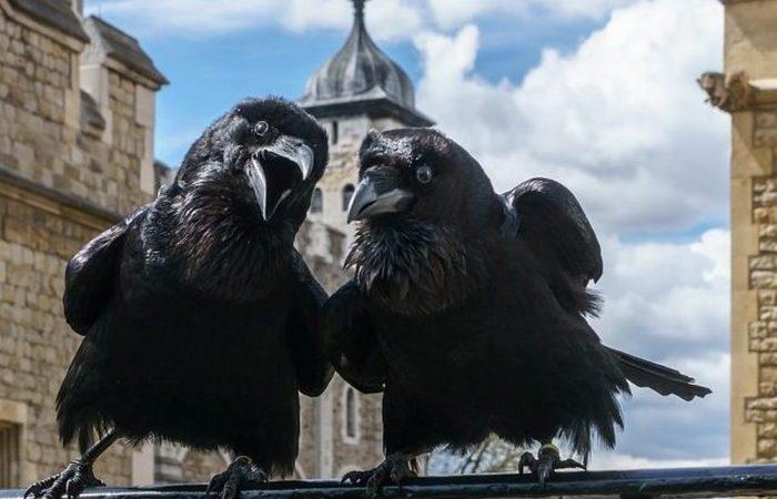 Черные вороны — символ Тауэра
