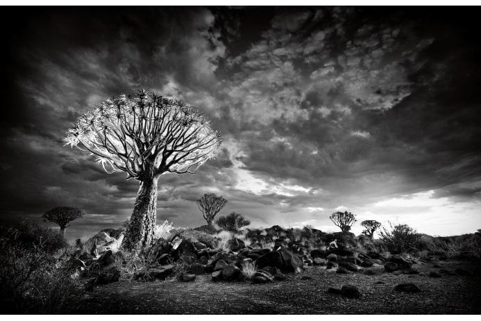 Алоэ может достигать девяти метров в высоту. В Намибии эти растения живут до трехсот лет