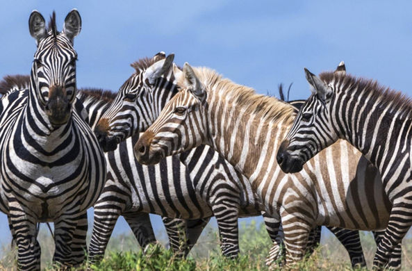 Фотограф повстречал редкую зебру-альбиноса