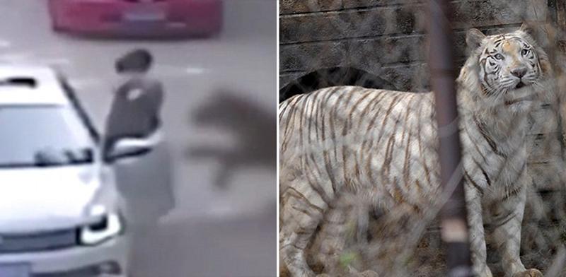 В Китае тигр загрыз посетительницу сафари-парка