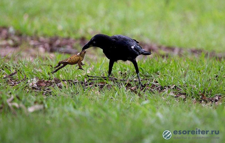 Умные вороны едят даже ядовитых жаб – и ничего