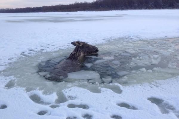 Мужчина на Алтае спас из полыньи тонущего лося