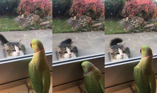 Попугай играет в прятки с кошкой
