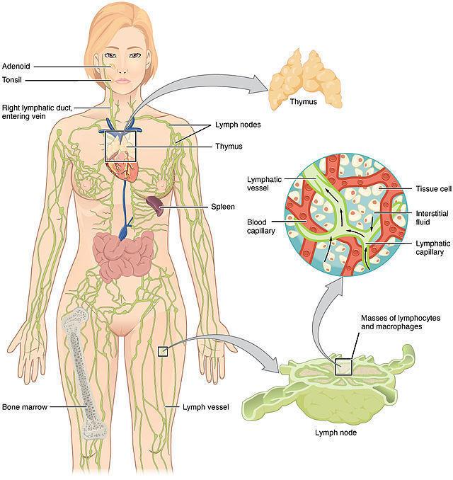 10 простых шагов для очищения лимфатической системы и поддержания гормонального баланса