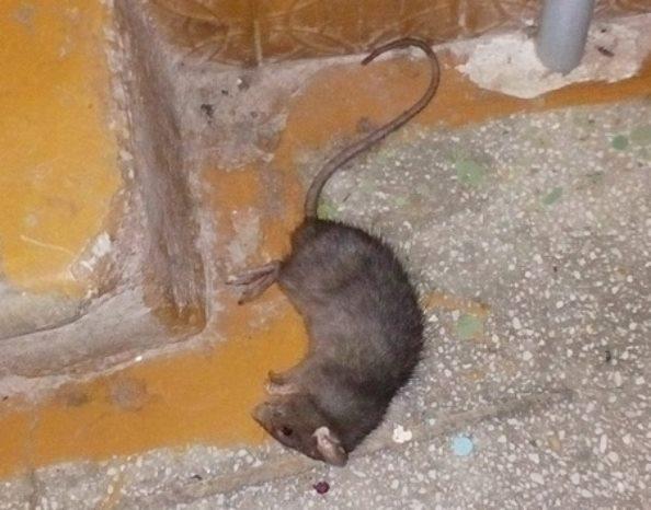 Катастрофичная ситуация с крысами в Лидском районе Белоруссии