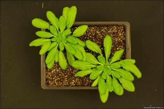 Ученые успешно вырастили очередное трансгенное растение