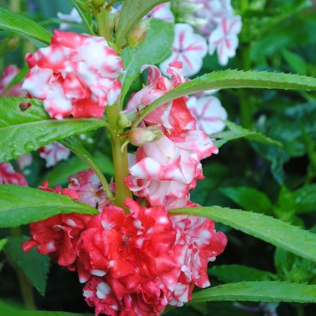 Бальзамин камелия: выращивание из семян, посадка и уход 37