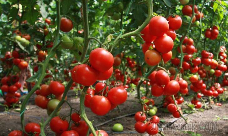 Суперурожай томатов! Дедовский рецепт!