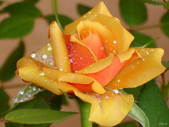 Желтая роза - В МИРЕ ЦВЕТОВ