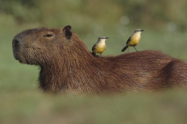 Самое дружелюбное животное на земле – капибара!