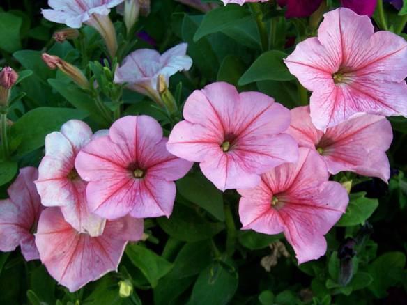 Как обустроить красивую клумбу с петуниями: 5 популярных способов