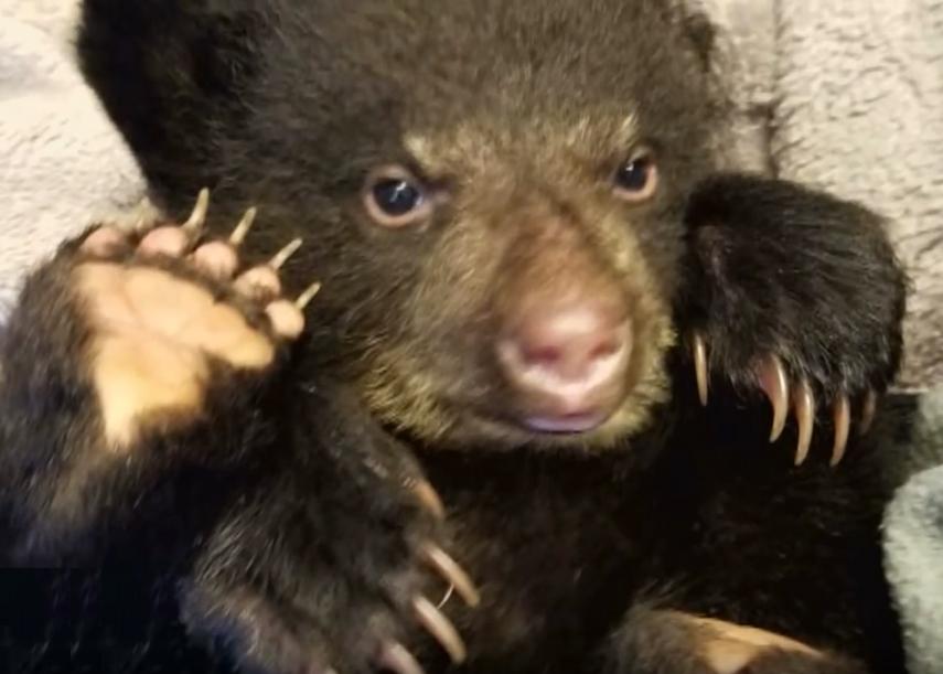 Парень рисковал попасть в тюрьму, спасая маленького медвежонка...