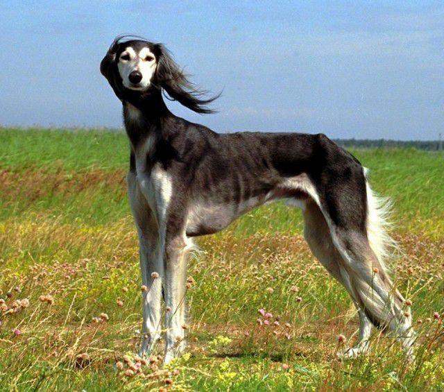 24. Салюки Порода, собака