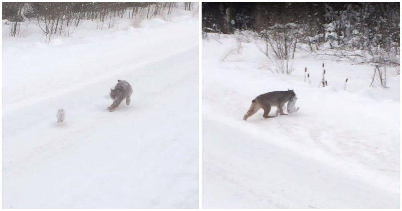 Рысь ловко поймала кролика