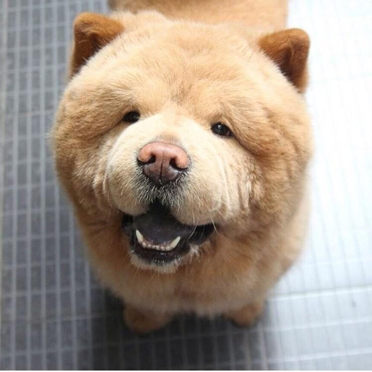 """""""Чау-чау порой считают агрессивной и трудной породой для дрессировки, но Чаудер - полная противоположность этому. Он очень любит людей"""" Instagram, животные, медведь, пес, соцсеть, сходство, филиппины, чау-чау"""