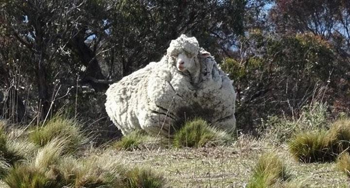 Овца отбилась от своего стада. Через 5 лет она поразила всех!