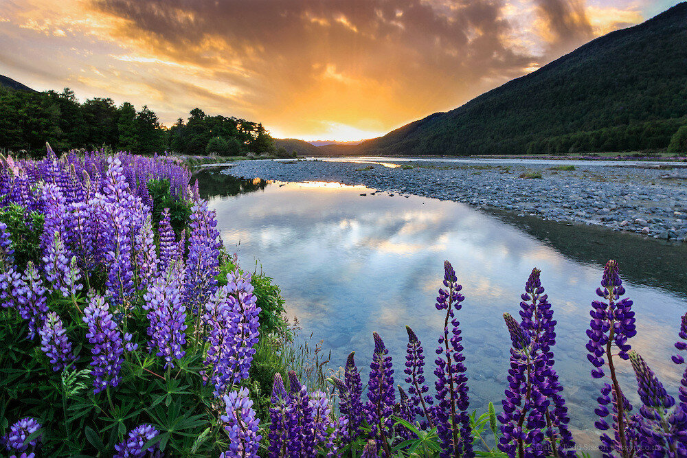 New Zealand Photos | Lupins at sunset beside Hollyfood River, Fiordland, NZ