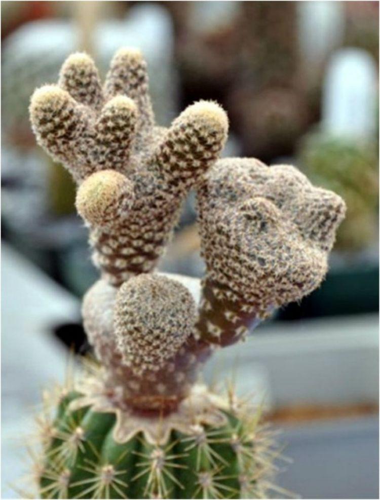7. Пуна (Puna Clavarioides) дом, растения