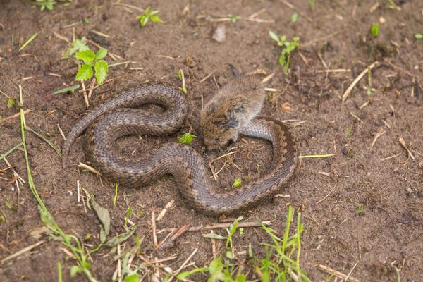 Если на участке много грызунов, есть вероятность того, что там появятся змеи