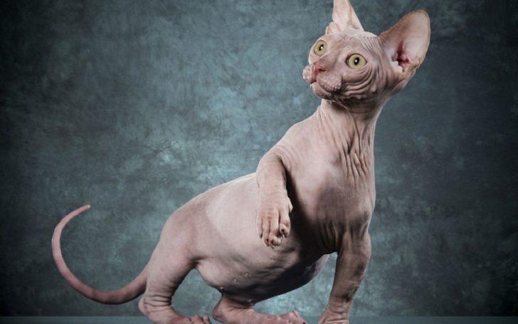 Впервые увидев кота породы сфинкс, дочь дала точное определение его внешности