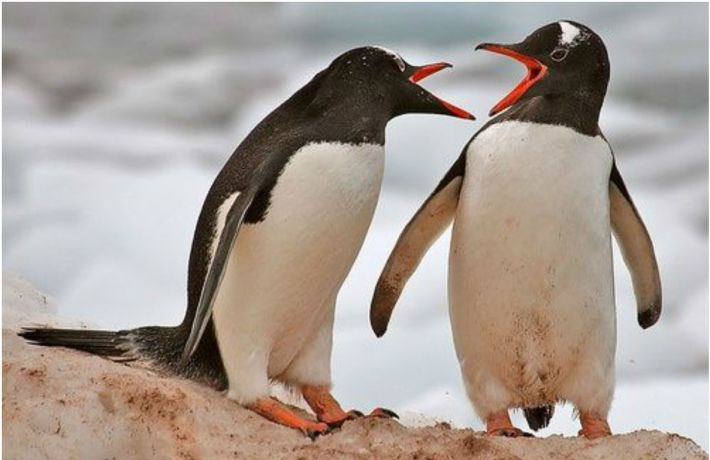Этот 3-х секундный смешной ролик про подлого пингвина можно пересматривать бесконечно!