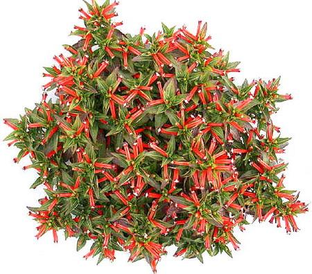 Cuphea MATCHLESS - Интернет-магазин - Адениум дома: от семян до растений. Выращивание и уход.