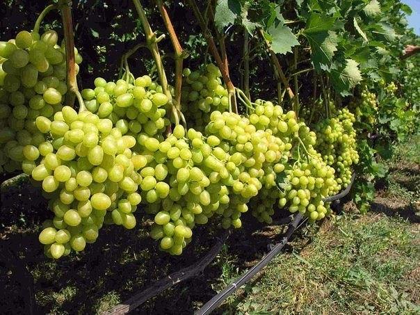 Как ускорить плодоношение винограда