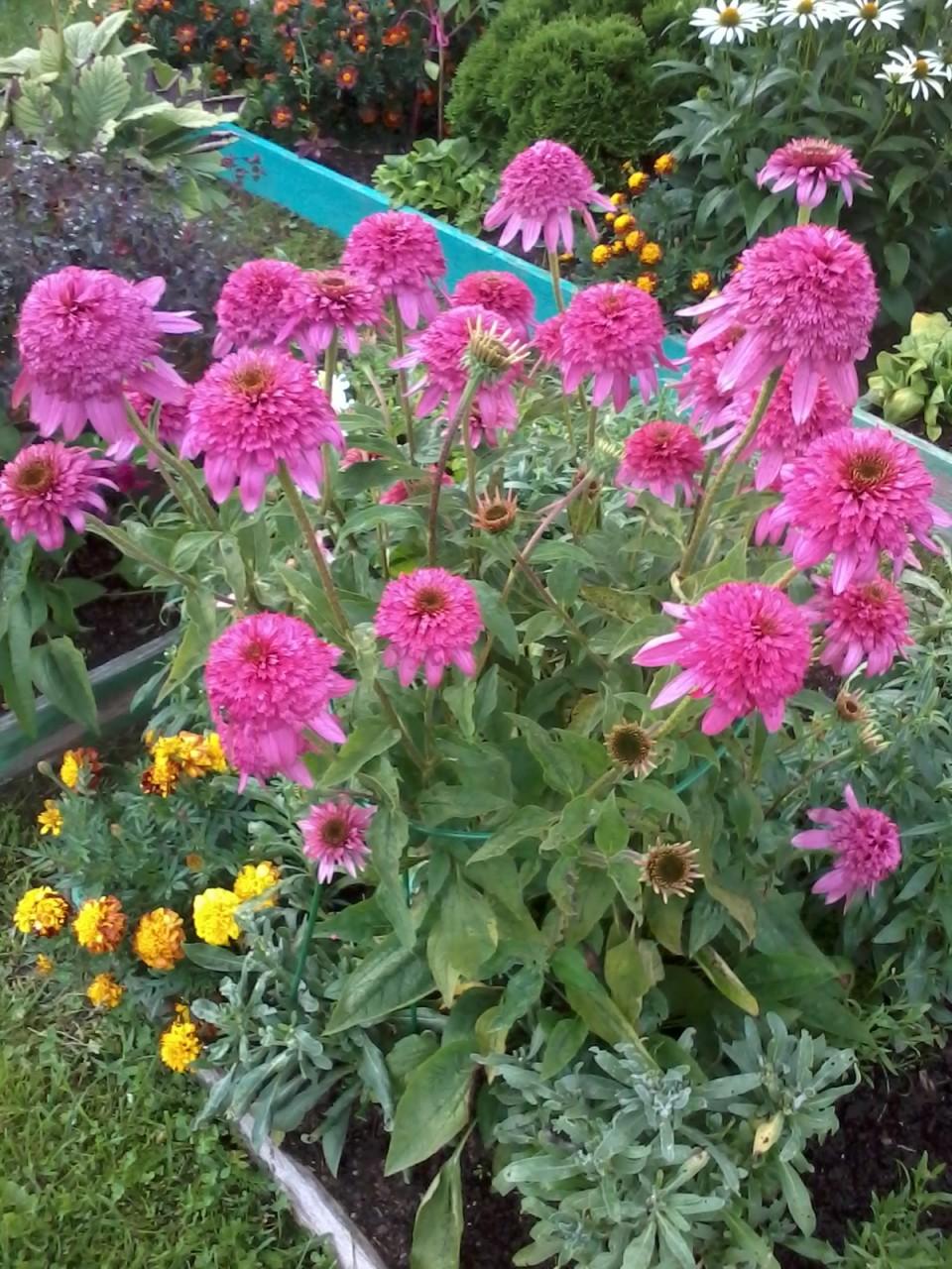 Многолетние средние цветы цветущие все лето фото и название