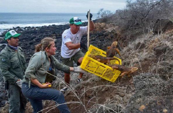 На Галапагосские острова выпустили первых игуан