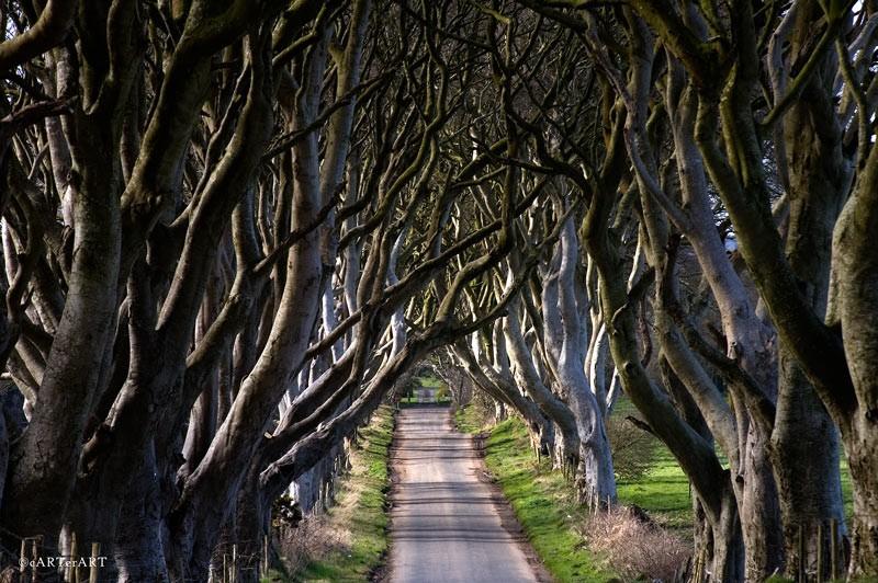 Сказочный лес, или Темная аллея в Ирландии. Фото