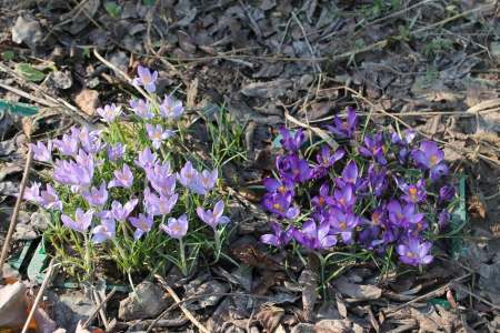 Советы, которые помогут вырастить тюльпаны даже новичку