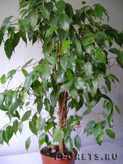 Листья у ф. Бенджамина