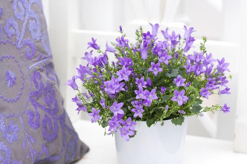 Домашний цветок кампанула уход в домашних условиях