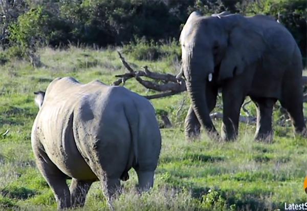 Слон показал носорогу кто здесь главный