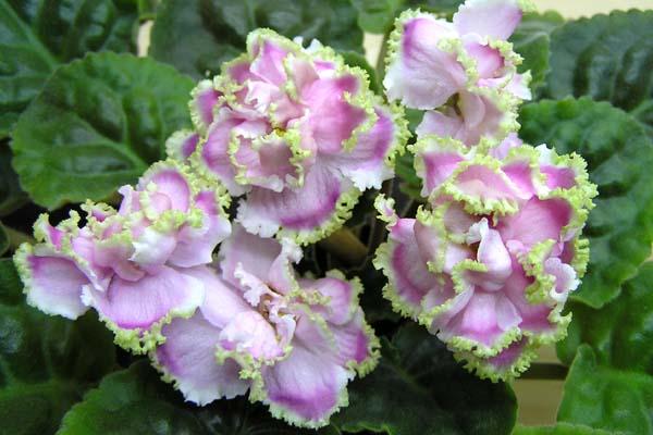 Все о выращивании фиалок: уход и размножение