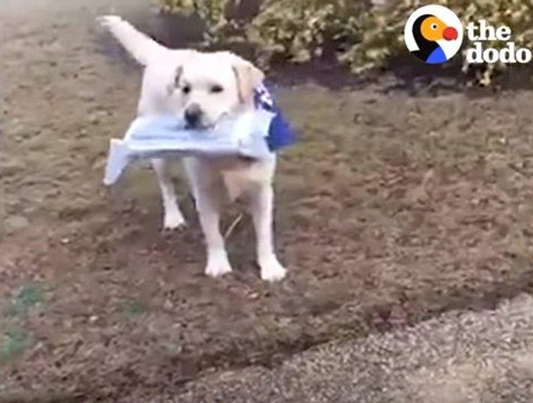 Пес умело приносит газеты своему хозяину